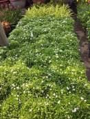 cây hoa tiểu thơ- cây mai vạn phúc